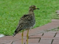 297 Spotted  Thick-knee